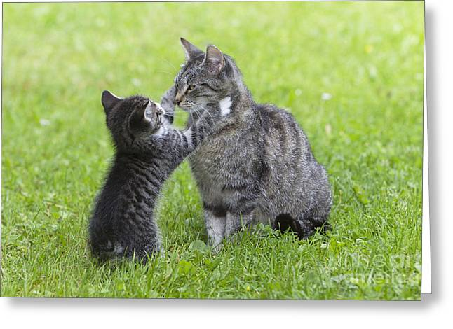 Parental Care Greeting Cards - Cat Playing With Kitten Greeting Card by Duncan Usher