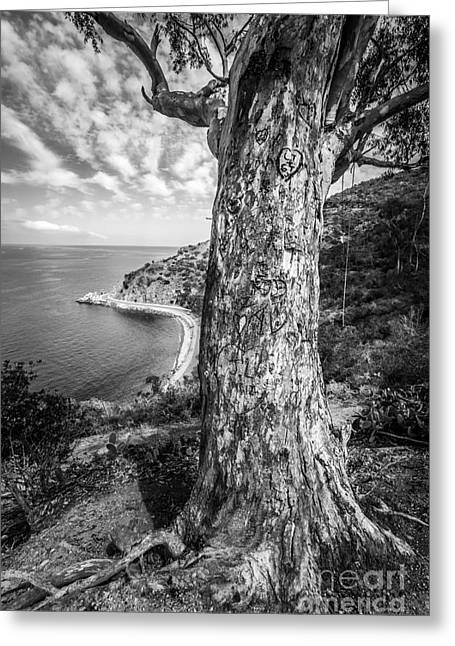 Photo . Portrait Greeting Cards - Catalina Island Lovers Cove Tree in Black and White Greeting Card by Paul Velgos