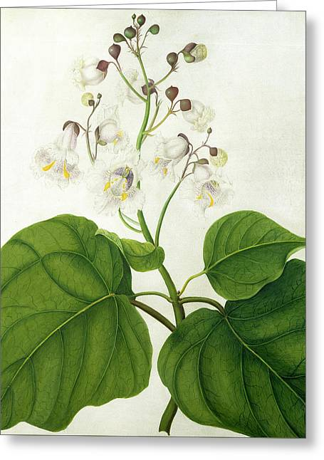 Colorful Trees Drawings Greeting Cards - Catalpa Speciosa Greeting Card by Matilda Conyers