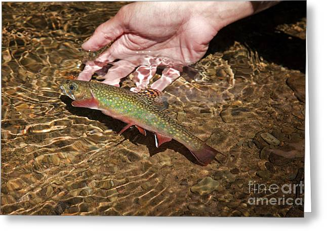 Rainbow Trout Greeting Cards - Catch And Release Trout Greeting Card by John Stephens