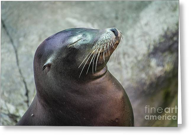 Sea Lions Greeting Cards - Catching a Few Rays Greeting Card by Joann Long