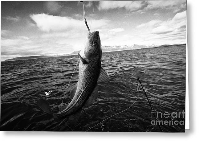 Icelandic Fish Greeting Cards - catching cod seafishing on a charter boat Reykjavik iceland Greeting Card by Joe Fox