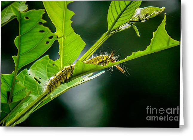 Eating Entomology Greeting Cards - Caterpillar Greeting Card by Fineart Photographs