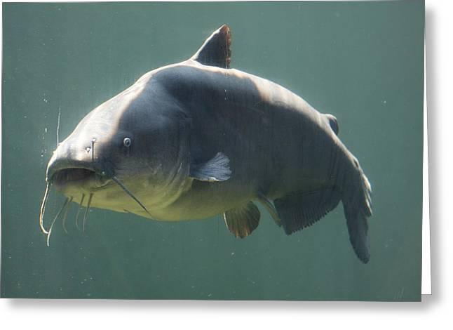 Catfish Greeting Card by Jonathan Kotinek