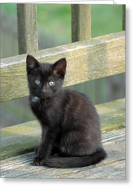 Best Sellers -  - Litter Mates Greeting Cards - Cats 30 Greeting Card by Joyce StJames