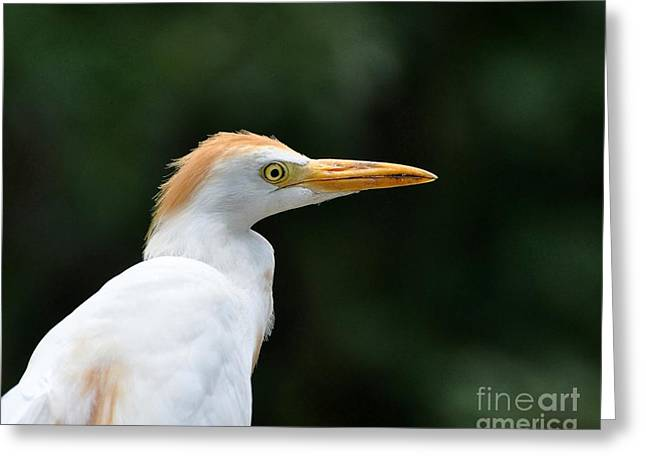 Cattle Egret Greeting Cards - Cattle Egret Close-Up Greeting Card by Al Powell Photography USA