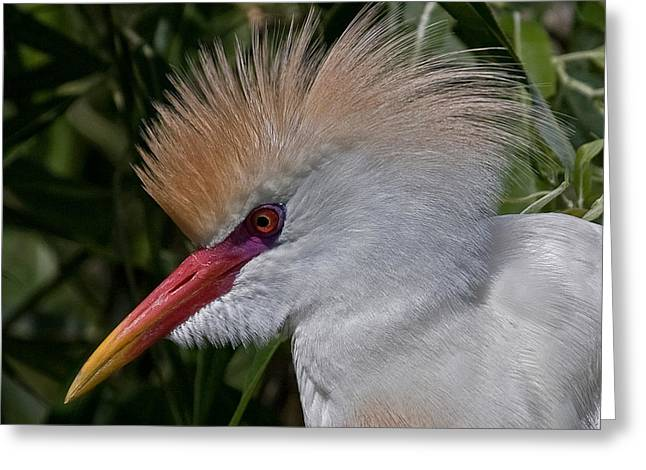 Cattle Egret Greeting Cards - Cattle Egret In Breeding Plumage Greeting Card by Larry Linton