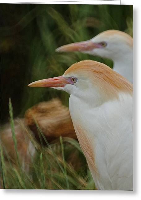 Cattle Egret Greeting Cards - Cattle Egrets Dry Brushed Greeting Card by Ernie Echols
