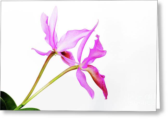 Cattleya Guatemalensis Greeting Card by Charline Xia