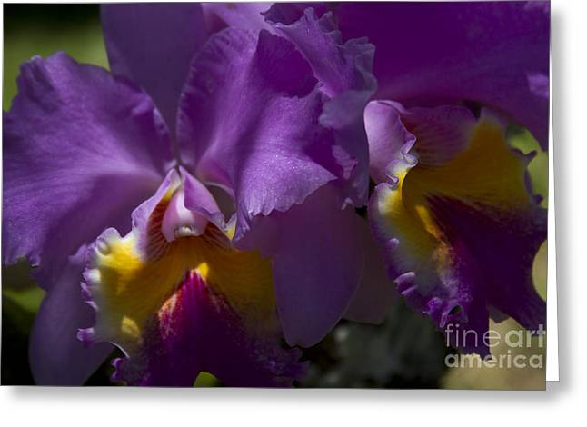 Cattleya Orchid Greeting Cards - Cattleya Orchid Garden of Eden Maui Greeting Card by Sharon Mau