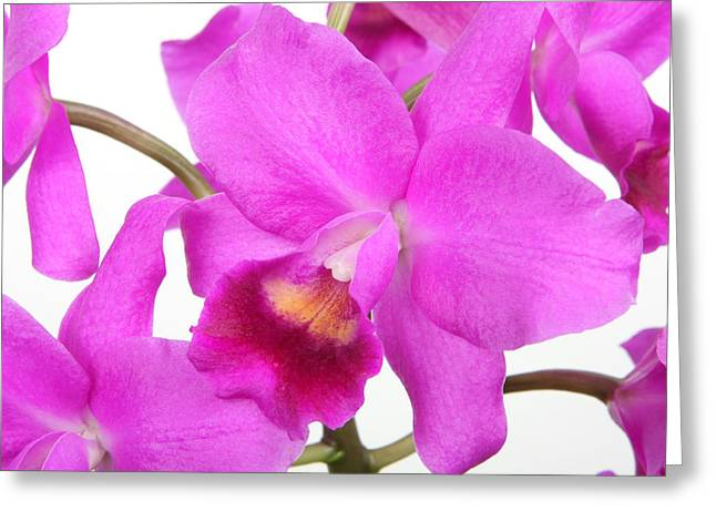 Cattleya Orchid Greeting Cards - Cattleya Orchid Greeting Card by Lynn Berreitter