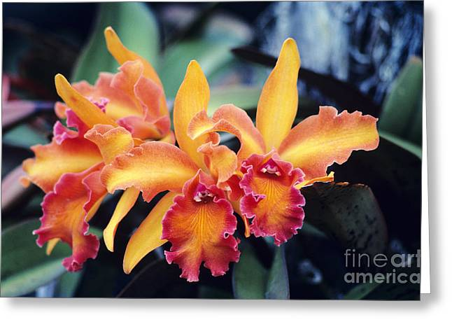 Cattleya Photographs Greeting Cards - Cattleya Orchids Greeting Card by Allan Seiden - Printscapes