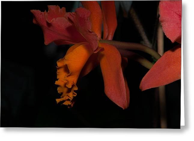 Cattleya Digital Art Greeting Cards - Cattleya Orchids Greeting Card by Carol Ailles