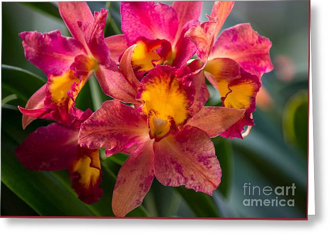 Cattleya Orchids Greeting Card by Fiona Craig