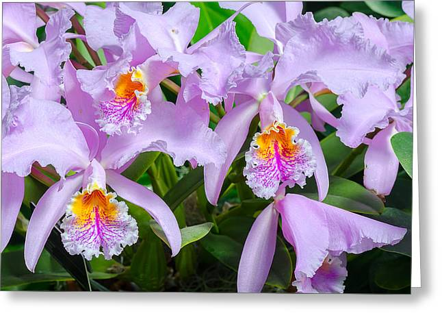 Cattleya Greeting Cards - Cattleya Trianae Orchids Greeting Card by Marc Bruxelle