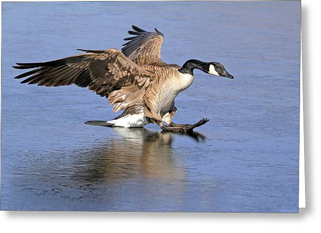 Canadian Geese Greeting Cards - Caution - Ice Is Slippery Greeting Card by Donna Kennedy