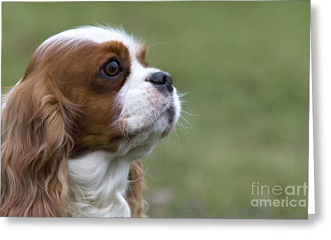 Toy Dog Greeting Cards - Cavalier King Charles Spaniel Greeting Card by Jean-Louis Klein & Marie-Luce Hubert