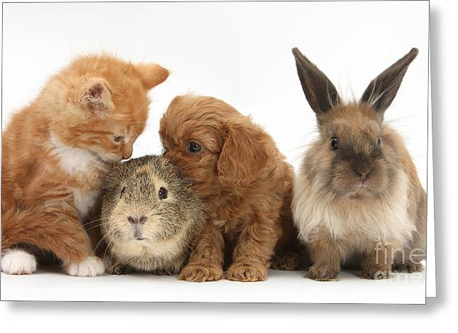"""house Cat"" Greeting Cards - Cavapoo Pup, Rabbit, Guinea Pig Greeting Card by Mark Taylor"
