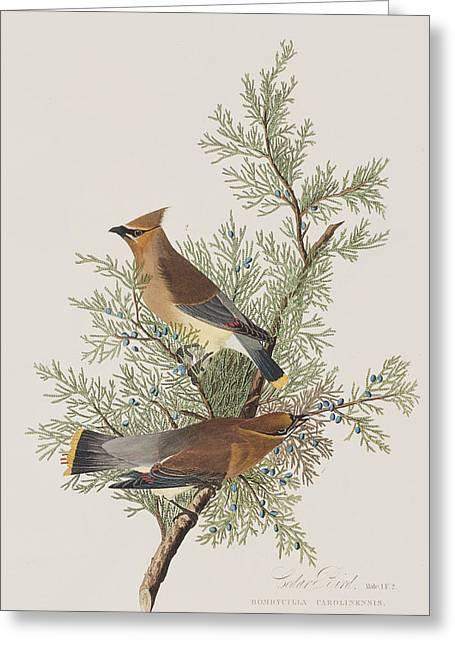 Label Greeting Cards - Cedar Bird Greeting Card by John James Audubon