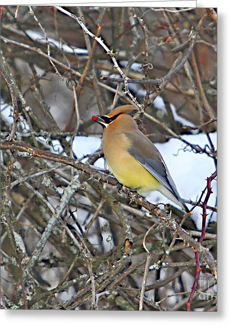 Wild Bird Mixed Media Greeting Cards - Cedar wax wing Greeting Card by Robert Pearson