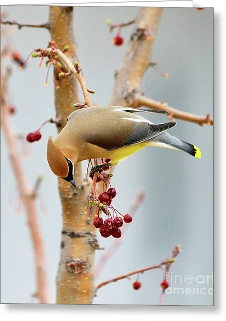 Cedar Waxwing Greeting Cards - Cedar Waxwing 2 Greeting Card by Betty LaRue