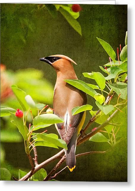 Black Berries Greeting Cards - Cedar Waxwing Greeting Card by Al  Mueller