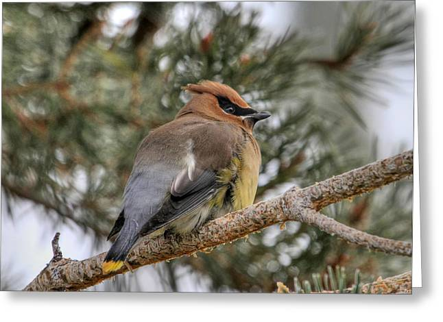 Cedar Waxwing Greeting Cards - Cedar Waxwing Greeting Card by Donna Kennedy
