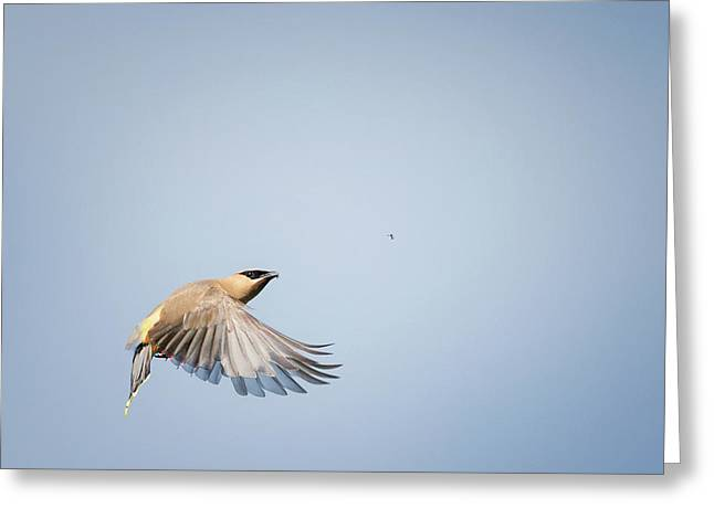 Cedar Waxwing In Flight Greeting Card by Bill Wakeley