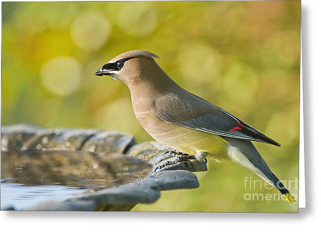 Cedar Waxwing Greeting Cards - Cedar Waxwing in Spring Greeting Card by Bonnie Barry