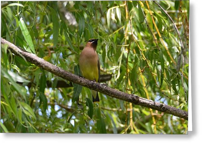 Cedar Waxwing Greeting Card by Judd Nathan