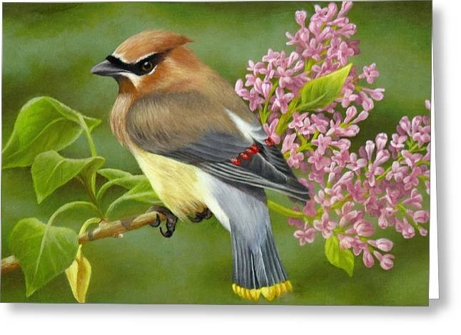 Cedar Waxwings Greeting Cards - Cedar Waxwing on Lilac Greeting Card by Karen Coombes