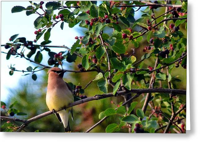 Cedar Waxwing Greeting Cards - Cedar Waxwing Greeting Card by Will Borden