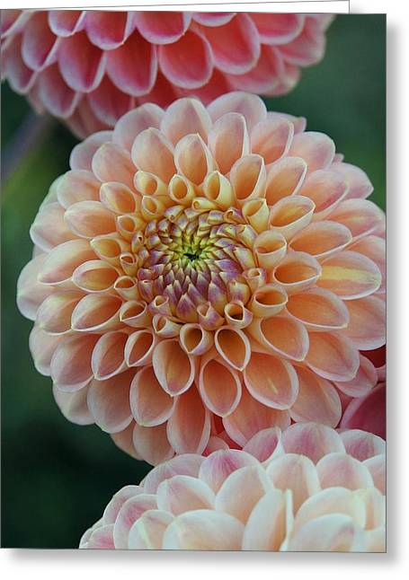 Dinner-plate Dahlia Greeting Cards - Celebration of Color and Form Greeting Card by Patricia Strand