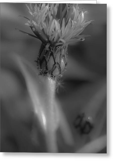 Centaurea Montana Greeting Cards - Centaurea Montana 1 Greeting Card by Mo Barton