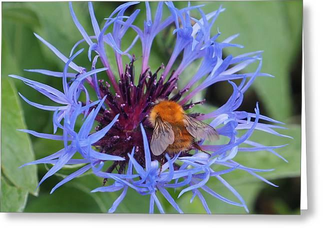 Centaurea Montana Greeting Cards - Centaurea montana and Bee Greeting Card by Gillian James