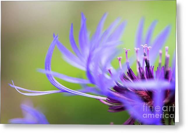 Centaurea Montana Greeting Card by Tim Gainey