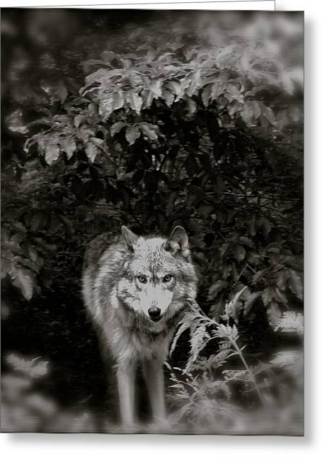 Wolf From The Forest Greeting Cards - Center Of The Forest Greeting Card by Debra     Vatalaro