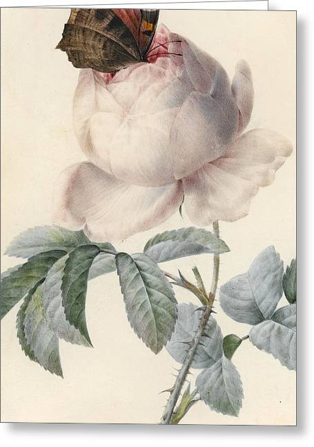 Roses Drawings Greeting Cards - Centifolia Rose with Peacock Butterfly Greeting Card by Pierre Joseph Redoute
