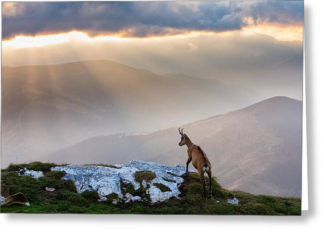 Lonely Greeting Card featuring the photograph Chamois In Piatra Craiului Romania by Dan Mirica