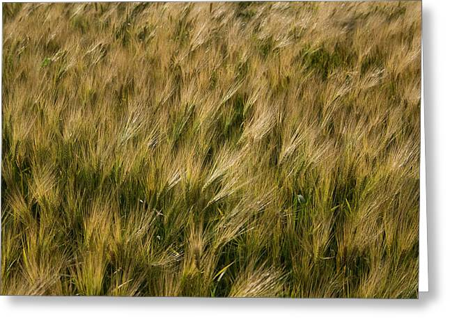 Changing Wheat Greeting Card by Dylan Punke