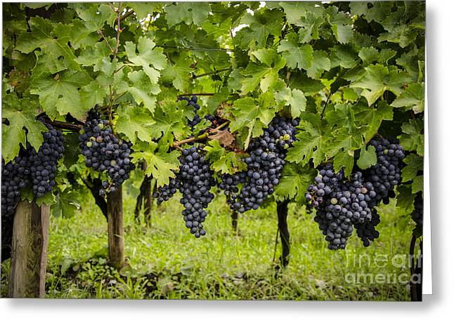 Winemaking Digital Greeting Cards - Chardonnay grape cluster Greeting Card by Perry Van Munster