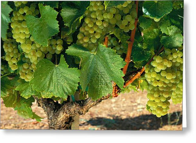 Chardonnay Grapes On The Vine, Napa Greeting Card by Panoramic Images