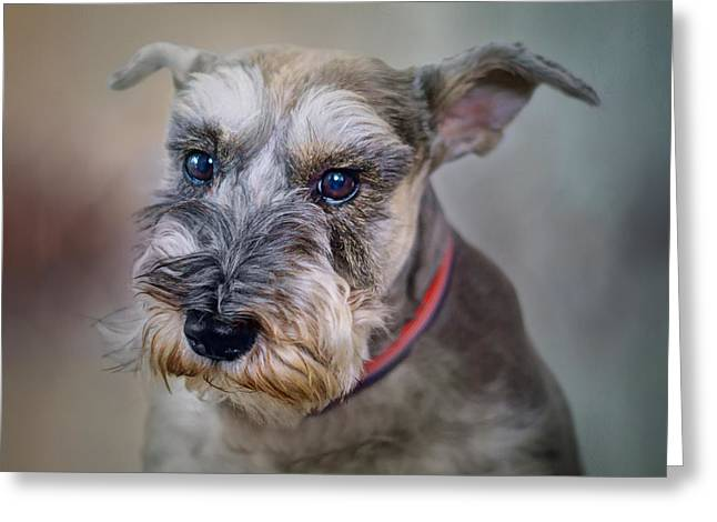 Charlie - Dog Portrait - Schnauzer Greeting Card by Nikolyn McDonald