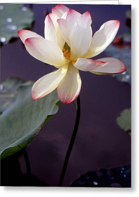 Lotus Leaf Greeting Cards - Charming lotus Greeting Card by Lian Wang
