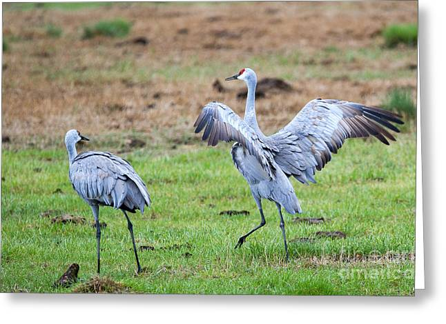 Sandhill Crane Greeting Cards - Check the Moves Greeting Card by Mike Dawson