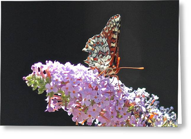 Checkerspot Butterfly Greeting Card by Liz Vernand