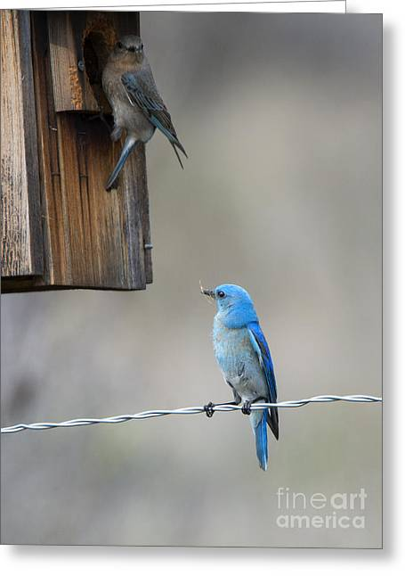 Bluebird Greeting Cards - Checking the Nest Greeting Card by Mike Dawson