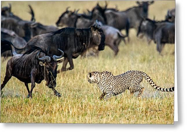 Cheetah Acinonyx Jubatus Chasing Greeting Card by Panoramic Images
