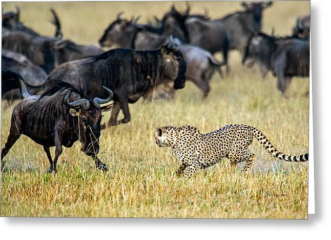 Acinonyx Jubatus Greeting Cards - Cheetah Acinonyx Jubatus Chasing Greeting Card by Panoramic Images