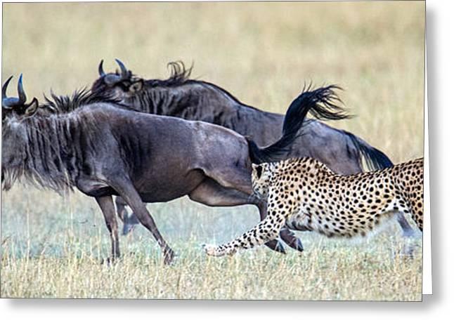 Cheetah Acinonyx Jubatus Hunting Blue Greeting Card by Panoramic Images